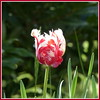 Guided by a beating heart (Anke knipst) Tags: tulpe tulip rot red weis white rahmen border blume flower spring frühling frame