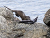 Shetland Otter and Conger Eel (Crieffy.) Tags: otter lutra shetland conger eel
