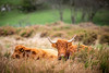 23rd April 2018 (Rob Sutherland) Tags: highland cow lakeland lakedistrict lakes highlander cattle horn horns farm farming livestock agriculture agricultural cumbria cumbrian scottish scotland england english uk britain british breed rare native upland fell hill rural traditional calf family young yearling
