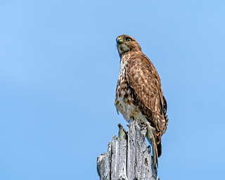 Hawk on Post #54