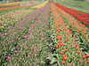 Tulip Festival   Abbotsford (DANIEL_CCN) Tags: abbotsford tulip festival flower color olympus omd em5ii nature photography photoshoot landscape snap sun blur brokeh dof 45mm f12 pro 75 300