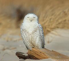 Ghost in the dunes (v4vodka) Tags: bird birding birdwatching animal nature wildife owl snowyowl sowa sowka predator raptor buboscandiacus sowasniezna puchaczsniezny nycteascandiaca schneeeule eule 雪鸮