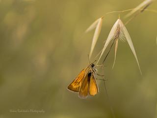 Thymelicus acteon Lepidoptera Esperiidae