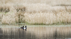 Tufted Duck (Paul..A) Tags: tuftedduck tufted duck ducks divingduck scotland