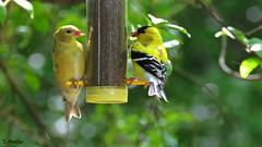 Sharing (Suzanham) Tags: spring finch goldfinch bird yellow songbird thistle leaves wildlife nature feeder mississippi fringillidae passeriformes birding smallbird