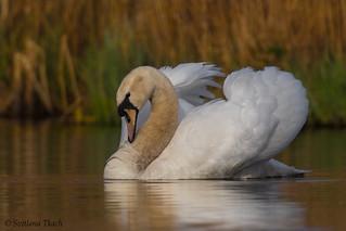 Immature Mute swan (Cygnus olor)