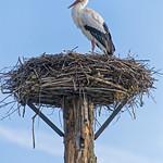 Stork on the nest thumbnail