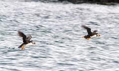 004 (dunraven48) Tags: birds northernireland sigma150500mm canon7d rspb wildlife