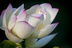 Blown lotus (Tim Brown's Pictures) Tags: washington dc kenilworthaquaticgardens wetlands flowers marsh lotus lotusblossom lotusflower water visitors unitedstates