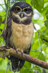 Spectacled Owl (Mario Arana G) Tags: 7d ave bird cr canon costarica florayfauna marioarana nature owl photography pulsatrixperspicillata sarapiqui spectacledowl wildlife
