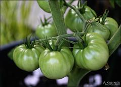 Yummy.... (angelakanner) Tags: canon70d 50mm garden longisland tomatoes green