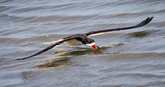 How Low can you go? (tresed47) Tags: 2018 201807jul 20180718newjerseybirds birds blackskimmer canon7d content ebforsythenwr flightshot folder general july newjersey peterscamera petersphotos places season summer takenby tern us