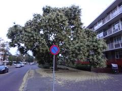 uitbundige bloei Apeldoorn (willemalink) Tags: uitbundige bloei apeldoorn