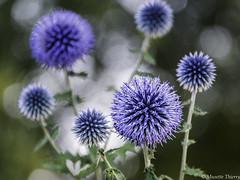 Douceur Naturel (musette thierry) Tags: flower fleur flor flowers fleuraison d800 photographie musette 28300mm nikon thierry falowme
