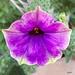 Petunia III