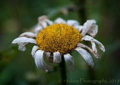 End Of Time (HMM) (13skies (Cast off, brace on. Healed but still sore) Tags: daisy decay macroscopic happymacromondays monday dead dying rotting done finished wilted complete finito passed garden sunlight sun summer bloom yellow hmm macro sonyalpha100 sony close macromondays