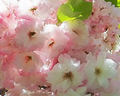 445. SAKURA: Pink Petticoat, Painterly 21 (Meili-PP Hua 2) Tags: photographypassionsxyz mlpphflora pink red crimson flowers flower petals blooms blossoms buds cherryblossoms sakura pinksakura pinkcherryblossoms tree trees flowersinthesky sky macro macroflowers spring soft pastels pale frilly frillypetals blossom light delicate translucent painterly arty creative creativephotography