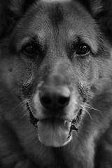 Champ (Zena Perture) Tags: dog german shepherd k9 bw sooc d750 7dwf