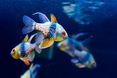 Pajama cardinalfish (Sphaeramia nematoptera) of Sumida Aquarium in Tokyo Sky Tree Town : ?????????????????????????????