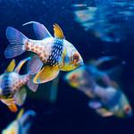 Pajama cardinalfish (Sphaeramia nematoptera) of Sumida Aquarium in Tokyo Sky Tree Town : マンジュウイシモチ(東京スカイツリータウン・すみだ水族館) thumbnail