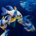 Pajama cardinalfish (Sphaeramia nematoptera) of Sumida Aquarium in Tokyo Sky Tree Town : マンジュウイシモチ(東京スカイツリータウン・すみだ水族館)