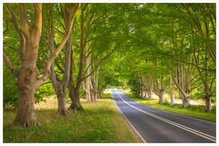 Beech Tree Avenue near Badbury Rings,Dorset