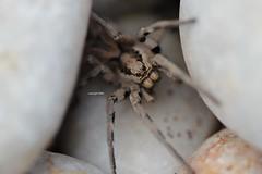 Lycosidae (Phil Arachno) Tags: tenaro greece spider spinne arachnida arthropoda chelicerata griechenland peleponnes