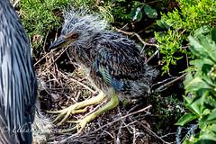 Yellow-crown Heron chick 🐥 (mayekarulhas) Tags: oceancity yellowcrown heron newjersey bird avian wildlife wild canon canon500mm canon1dxmark2