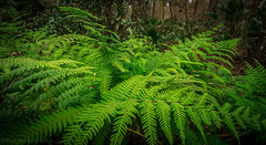 Fern (tshabazzphotography) Tags: fern plant native nature outside outdoors hike hiking trail explore primitiveplant orlando florida canonoffical wideangle natureboy depth garden tree woods wood green leaves wild