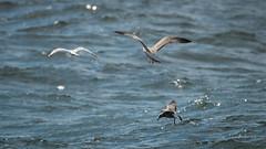 DSC04082.jpg (fotolasse) Tags: sonykarlshamnfåglarstorm karlshamn storm blåst vatten rågar hamn hav sjö båtar water sea birds rocks klippor