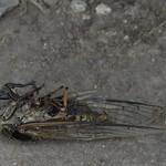 expired cicada