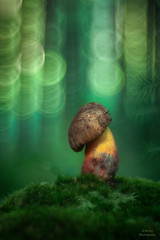 Hexenröhrling (Skodiar) Tags: boletusluridiformis makro macro moshroom moos funghi flares natur nature wald forest trioplan pilz pilze hexenröhrling röhrling