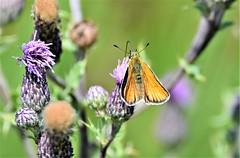 Skipper on thistle flowers. (pstone646) Tags: skipper nature butterfly animal fauna flora wildlife bokeh kent feeding pollination flowers purple green