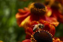 bee (Jos Mecklenfeld) Tags: bij bee biene insecten insects insekten flowers bloemen blumen nature natur natuur macro loga leer ostfriesland deutschland duitsland sonya6000 sonyilce6000 sony30mmf35macro sel30m35 evenburg niedersachsen germany de
