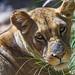 Nice lioness portrait