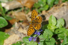 Veilchen Perlmuttfalter (Aah-Yeah) Tags: veilchen perlmuttfalter silberfleck perl borderd fritillary boloria euphorosyne clossiana achental schmetterling butterfly chiemgau bayern