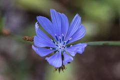 Chicory flower (Adrià Páez) Tags: chicory flower common cichorium intybus blue macro bokeh plant nature vegetation 60mm petals canon eos 7d mark ii