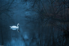 swan lake (zora_schaf) Tags: zoraschaf bleu blau blue water spiegelung reflection lake wasser schwan swanlake