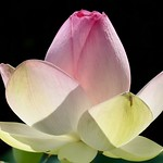 Lotus thumbnail