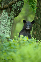Who goes there? (Jim Fields Photography) Tags: theamericanblackbear bear blackbear bears ursusamericanus woodland hardwoods spring green omnivore claws shenandoahnationalpark predator hunt virginiawildlife jimfieldsphotography jimfields wildlife bearcub yearlingbearcub hardwood forest animals