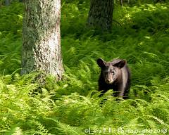 The Yearling Bear (mountaingirl7869) Tags: blackbear bear americanblackbear ursusamericanus mamal shenandoahnationalpark bigmeadows wildlife nature fern ferns forest yearling laraellisphotography