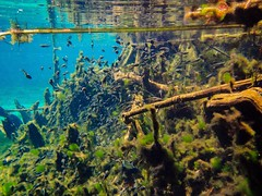 All or Nothing: Gainer Springs Tadpoles (Phil's 1stPix) Tags: econfinacreek econfinasprings econfinacreekcanoetrail northwestfloridawatermanagmentdistrict nwfwmd baycountyflorida underwater snorkel dive florida nature wildlife floridasprings floridanature outdoorrecreation realflorida naturalecosystem geotag geotagged floridapanhandle econfinacreekbaycounty gainersprings wildflorida creativecommonsnature northwestfloridawatermanagementdistrict floridawildlife phils1stpix firstpix unitedstates usa floridaunderwater floridasnorkeling floridaspringssnorkeling photoscape amphibian tadpole amphibianbehavior tadpolebehavior floridaspringecosystem tadpolenursey lightroom6 olympusem5 olympuscamera olympusunderwatercamera floridaaquifer econfina adobelightroom6 econfinacreekwatermanagementarea gainerspringstadpole tadpolecolony tadpolearmy tadpoleknot