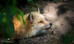 Wild Neighbor (amndcook) Tags: amandacook summer outdoor howell outside season nature wildlife fur outdoors redfox den spiritledphotography animal michigan