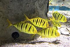 France 2018 - Le Croisic - Océarium (philippebeenne) Tags: grance loireatlantique lecroisic aquarium océarium poissons sauvage nature eau mer water sea