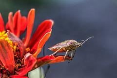 IMG_0674-1 (jörgpreusser) Tags: blume blumen blüte blüten insekt insekten makro macro