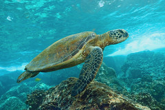 cruising by the Two Step (BarryFackler) Tags: honaunau island sealifecamera wildlife biology nature marinelife animal seacreature diving 2018 ocean southkona ecology scuba marine hawaiianislands aquatic underwater fauna life pacificocean sealife coralreef cheloniamydas hawaiiangreenseaturtle reptile greenseaturtle turtle seaturtle cmydas marinereptile honu vertebrate water ecosystem reef tropical undersea bigisland dive diver bigislanddiving organism outdoor polynesia pacific kona konacoast konadiving hawaii hawaiiisland hawaiicounty honaunaubay hawaiidiving sea sandwichislands saltwater seawater zoology creature coral barryfackler barronfackler bay being marinebiology marineecosystem marineecology