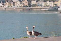 Left And Right (pni) Tags: rhein rhine riverbank river water bird goose animal building stgoarshausen stgoar ger18 germany deutschland pekkanikrus skrubu pni