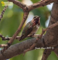 Calliope Hummingbird (ironekilz) Tags: chatfieldstatepark