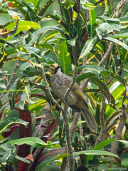 P8050153 (gprana) Tags: bird bukitbrowncemetery district11 em5 micro43 microfourthirds novenaplanningarea olympus olympusmzuikodigitaled75300mmf4867ii olympusomdem5 pycnonotuszeylanicus singapore strawheadedbulbul m43