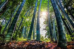 Like no other (Melissa Maples) Tags: batumi batum ბათუმი adjara აჭარა georgia gürcistan sakartvelo საქართველო asia 土耳其 apple iphone iphonex cameraphone მწვანეკეპი mtsvanecape ბოტანიკურიბაღი botanicalgarden bamboo trees forest sunflare lensflare flare